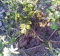 1 Pelargonium triste - Kenwyn Nature Park Cape Town 2.jpg