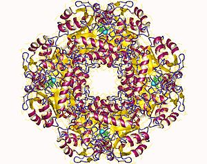 Porphobilinogen synthase - DALA dehydratase