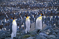 20-south-georgia-st-andrews-king-penguins.jpg