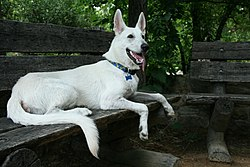 2008-07-11 White German Shepherd pup chilling at the Coker Arboretum.jpg