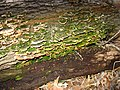 2008 04 06 - Russett - Fungi in the nature reserve.JPG