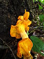 2012-08-12 Omphalotus illudens (Schwein.) Bresinsky & Besl 248348.jpg