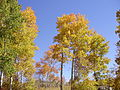 2012-10-18 001 Aspen in Harrison Pass.jpg