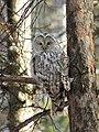 2012-11-01 Ural Owl, Novosibirsk Oblast, Russia.jpg