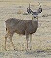 2012-mule-deer-male.jpg