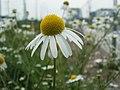20120619Tripleurospermum inodorum2.jpg