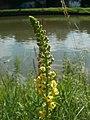 20120703Verbascum nigrum10.jpg