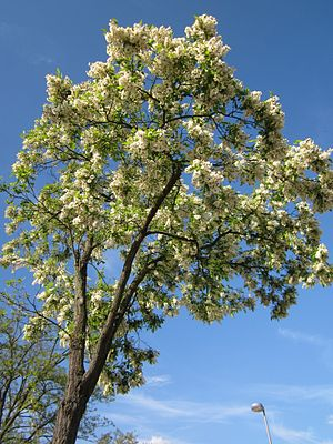 Robinia pseudoacacia - Tree in flower