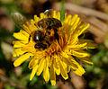 2014-04-06 15-39-48 abeille.jpg