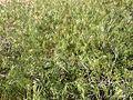 2014-05-29 16 43 23 Cheat grass in Elko, Nevada.JPG