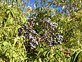 2014-09-25 09 46 48 Elderberry berries along Gold Creek Road (Elko County Route 749) about 18.7 miles north of Nevada State Route 225 (Mountain City Highway) in Elko County, Nevada.JPG