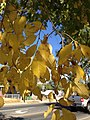 2014-10-11 14 51 33 Siberian Elm foliage during autumn in Elko, Nevada.JPG
