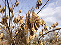 2014-12-30 11 54 22 Mimosa seed pods along Conway Avenue in Ewing, New Jersey.JPG
