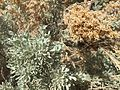 2015-03-16 14 14 38 Sagebrush foliage and seedhead at the Northeastern Nevada Museum in Elko, Nevada.JPG