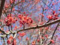2015-04-12 14 07 09 Female Red Maple flowers on Winthrop Avenue in Ewing, New Jersey.jpg