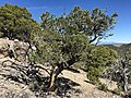 2015-04-28 14 05 33 An older Single-leaf Pinyon on the south wall of Maverick Canyon, Nevada.jpg