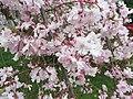 2017-04-03 16 09 31 Weeping Higan Cherry flowers along Ladybank Lane near Ben Nevis Court in the Chantilly Highlands section of Oak Hill, Fairfax County, Virginia.jpg