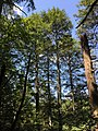 2017-08-19 11 41 01 View up into the canopy of a grove of Eastern Hemlocks along the Bull Run-Occoquan Trail between the Yellow Trail and the Red Trail within Hemlock Overlook Regional Park, in southwestern Fairfax County, Virginia.jpg