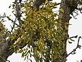 2018-01-28 (168) Tree with Viscum album (european mistletoe) at way to Gölsnitzgraben directory Schwerbach in Kirchberg an der Pielach.jpg