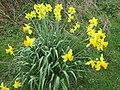 2018-04-17 Daffodils, (Narcissus), Sheringham common, Norfolk (1).JPG