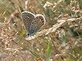 20190717 Nieuw Leeuwenhorst - Polyommatus icarus (Icarusblauwtje).jpg