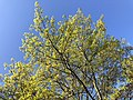 2020-04-15 18 08 28 View up into the canopy of a Pin Oak blooming along Dairy Lou Drive in the Franklin Farm section of Oak Hill, Fairfax County, Virginia.jpg