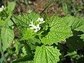 20210502Alliaria petiolata2.jpg