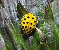 22-spot ladybird (Psyllobora vigintiduopunctata) (9057515843).jpg