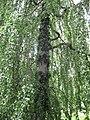 2805 - Innsbruck - Hofgarten - Salix.JPG