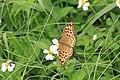294黑端豹斑蝶1(郭月秀攝) (30915297394).jpg