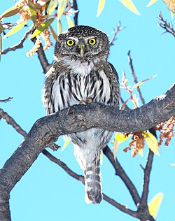 458 - NORTHERN PYGMY-OWL (4-8-2015) humboldt cyn, santa cruz co, az -03 (16460277564).jpg