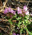 5037-Thymus serpyllum-Hradč. stěny-7.06.jpg