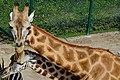 50 Jahre Knie's Kinderzoo Rapperswil - Giraffa camelopardalis 2012-10-03 14-45-26.JPG