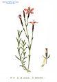 51 Dianthus deltoides L.jpg