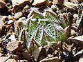 5 Haworthia arachnoidea -Tanqua Karoo 2.jpg