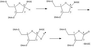 Free radical damage to DNA - Route of deoxyribonolactone formation