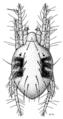ACAR Tetranychidae Tetranychus urticae2.png