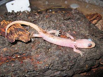 Arboreal salamander - Image: ALBINO ANEIDES