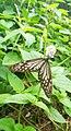 A Designed butterfly.jpg