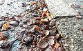 A Lille Marrons d'Inde toxiques écrasés toxic Common Horse Chestnut 09.jpg
