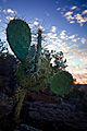 A Prickley Pear Cactus (3910010213).jpg