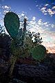 A Prickley Pear Cactus (3910010213).jpg