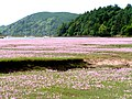 A Sea of Pinks - geograph.org.uk - 1337468.jpg