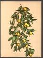 A branch of lemons, Limone, Lake Garda, Italy-LCCN2001700816.tif