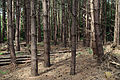 A fir plantation at Theydon Mount Essex England 11.JPG
