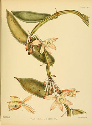 A hand-book to the flora of Ceylon (Plate XCI) (6430663749).jpg