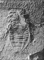 A monograph of the terrestrial Palaeozoic Arachnida of North America photos 76 77.png
