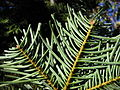 Abies concolor 8065.jpg