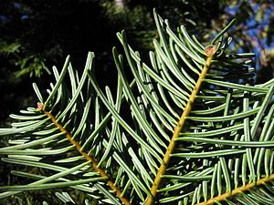 Abies concolor - Image: Abies concolor 8065