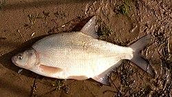 דג הלש
